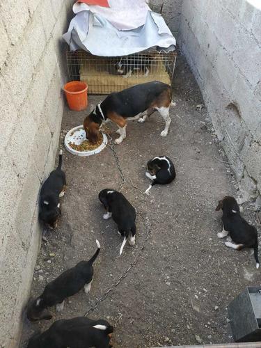 cachorritos beagle