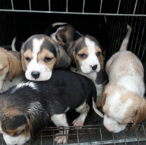 cachorritos beagles