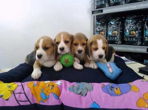 cachorritos beagles