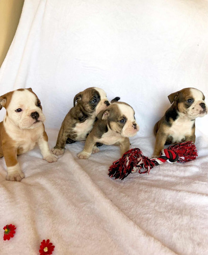 cachorritos bulldog ingles pedigree + 1 mes de vet