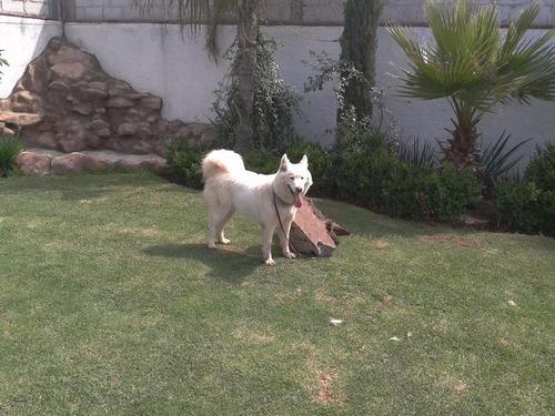 cachorritos husky siberiano