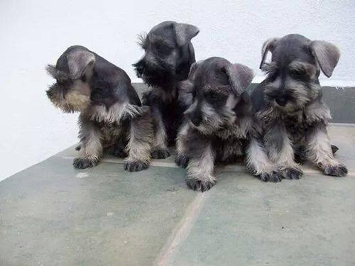 cachorritos schnauzer toy en venta