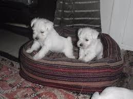 cachorritos shnauzer miniatura