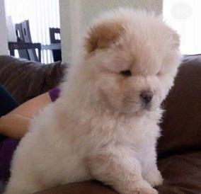 Cachorro 74217784 Chow Chow Con Pedigree