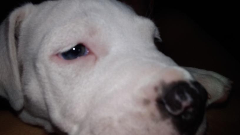cachorro american bully