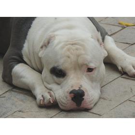 Cachorro American Bully Para Cobertura Cruza