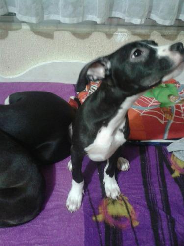 cachorro american pit bull