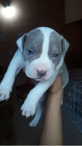 cachorro american pitbull