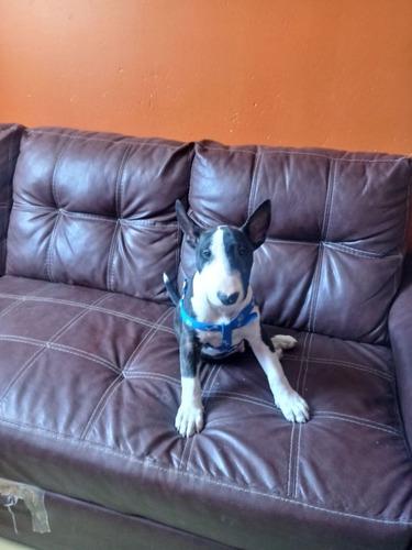 cachorro bull terrier ingles