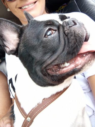 cachorro bulldog francês macho para cruzar