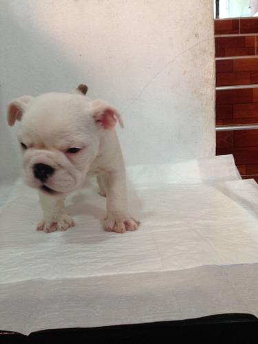 cachorro bulldog ingles