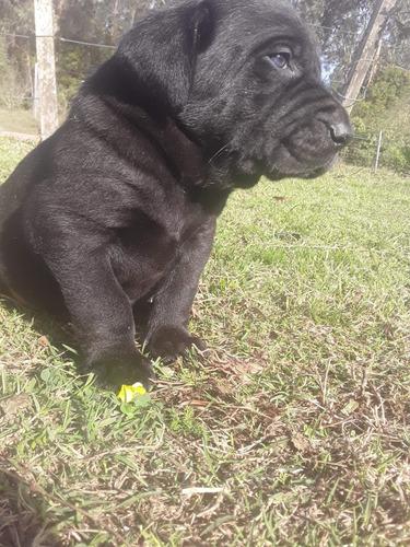 cachorro cane corso. ùitimo macho!!! nacido el 26/05/20