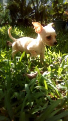 cachorro chihuahua macho