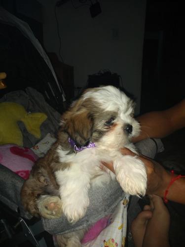 cachorro chitzu