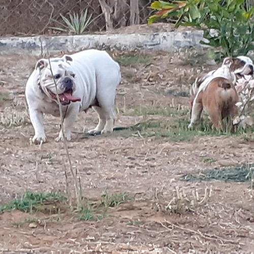 cachorro de bulldos ingles