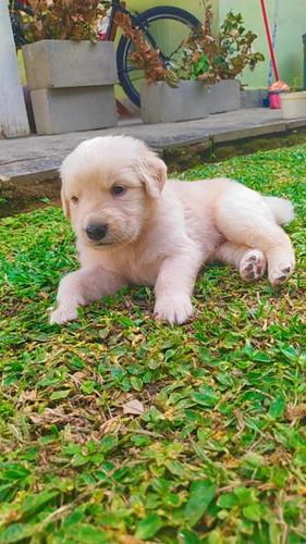 cachorro golden retriver
