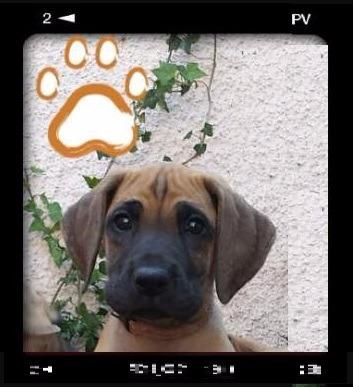 cachorro gran danés excelente pedigree hijos de campeones!!