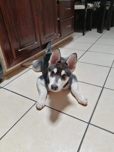 cachorro husky de 8 meses