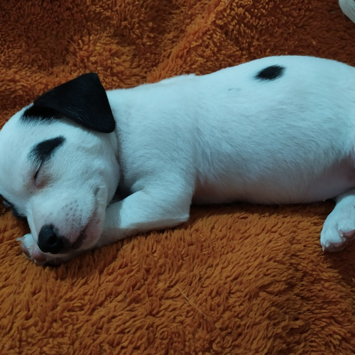 cachorro jack russell terrier macho
