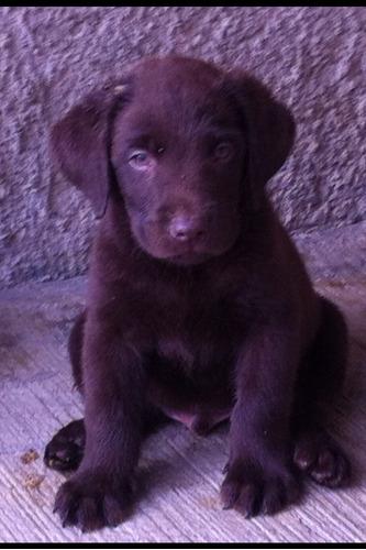 cachorro labrador chocolate hijos camp belleza inigualable