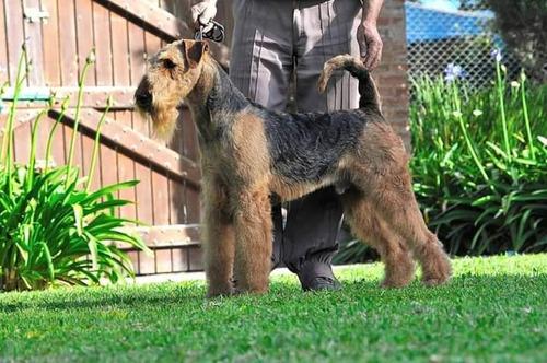 cachorro macho airedale terrier con pedigree