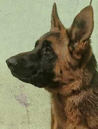 cachorro pastor aleman 7 meses