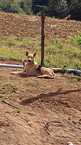 cachorro, pastor alemão.