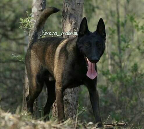 Cachorro Pastor Belga Malinois, Pedigree Fcm - $ 12,000.00