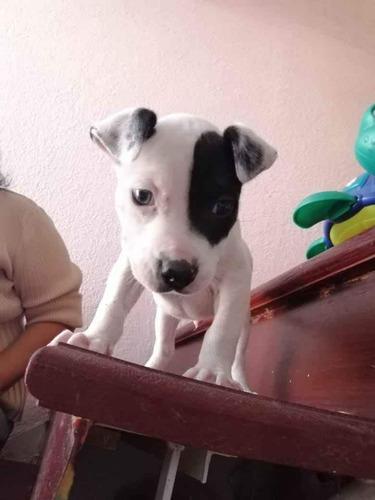 cachorro pitbull, 2 meses de edad