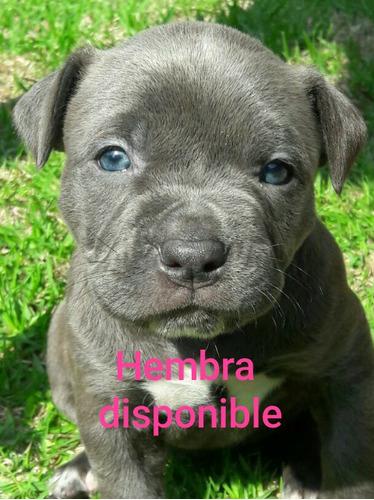 cachorro pitbull  blue