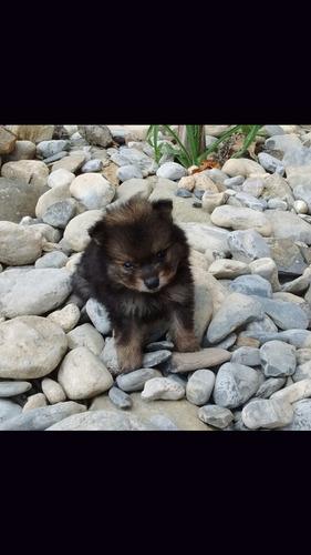 cachorro pomerania *** remato***