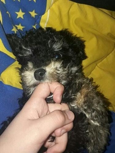 cachorro poodle minitoy 40vds es macho de 2 meses