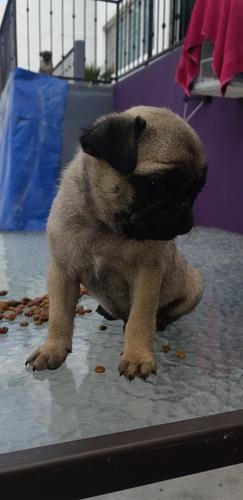 cachorro pug 2 meses 3800