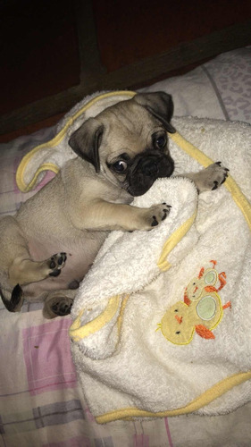 cachorro pug carlino 120$