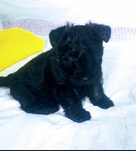 cachorro scottish terrier