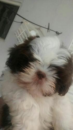 cachorro shitzu cor chocolate