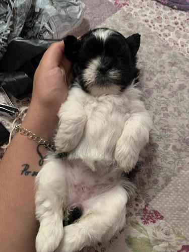 cachorro shitzu tricolor machito mini