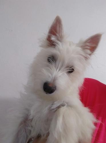 cachorro west highland white