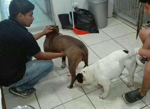 cachorros american bully