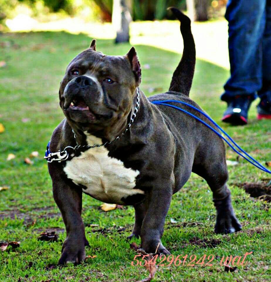 Cachorros American Bully 700 00 En Mercado Libre
