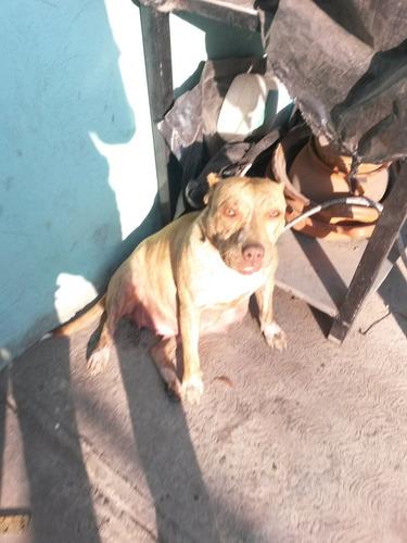 cachorros american pit bull