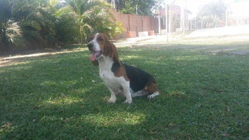 cachorros basset hound,hush pupies 100% puros,y garantizados