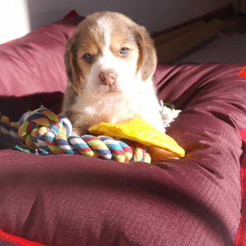 cachorros beagle