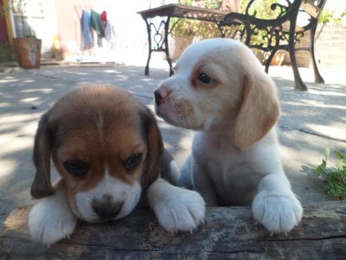 cachorros beagle bicolor y tricolor 13' con fca divinos!!!