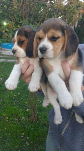 cachorros beagle !! excelente linea !! hermosos