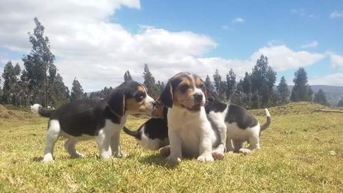 cachorros beagle mini envios a nivel nacional