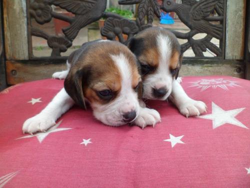 cachorros beagle  tricolor 13' con fca espectaculares!!!