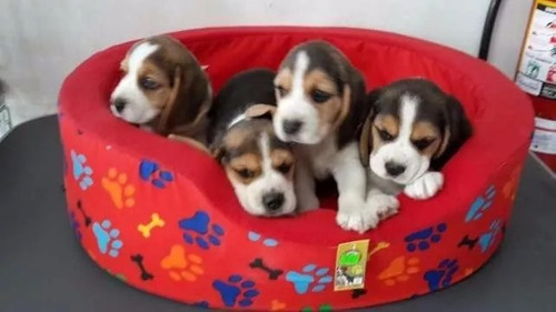 cachorros beagle tricolor! aceptamos tarjeta