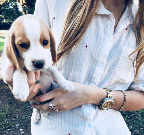 cachorros beagle unicos