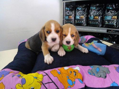 cachorros beagles con papeles